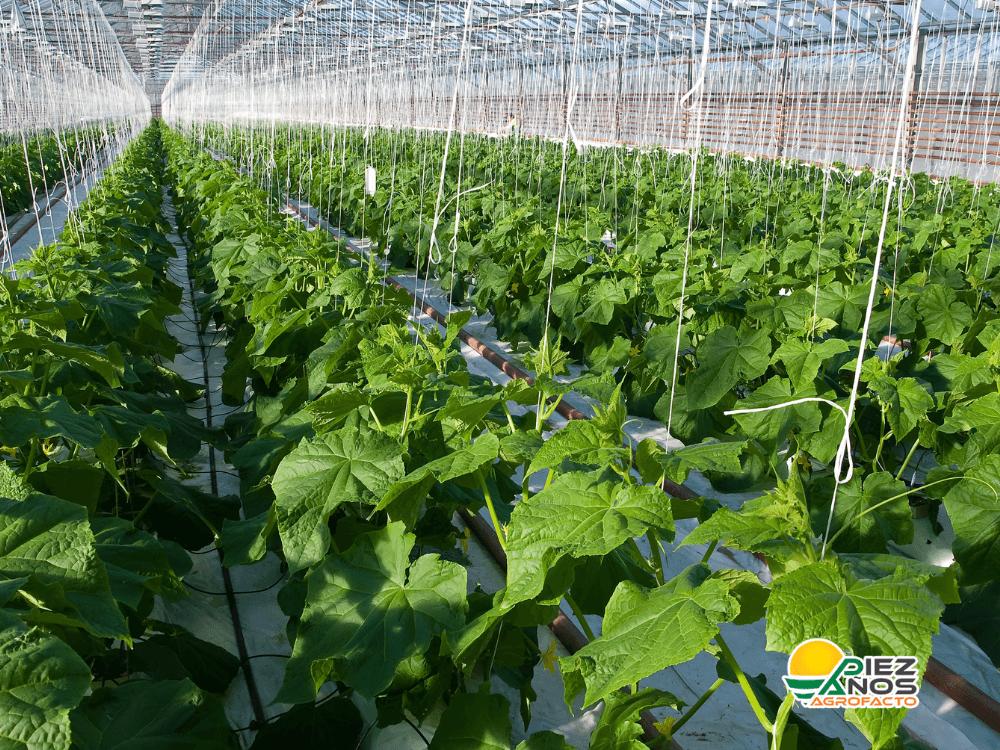 cultivo protegido por invernadero