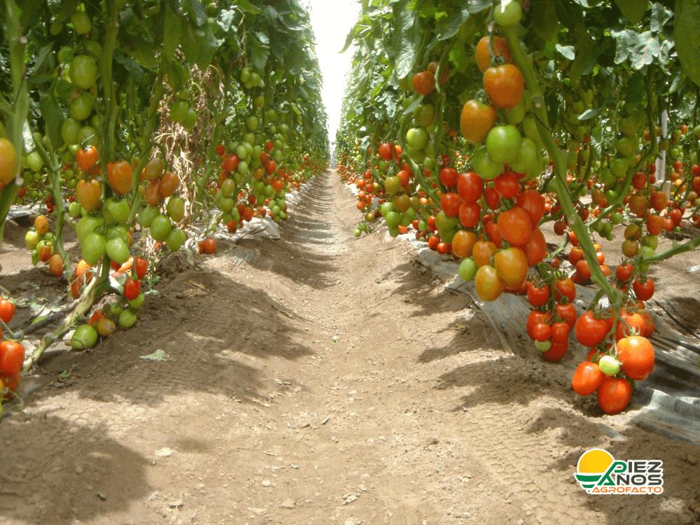 tomate de invernadero