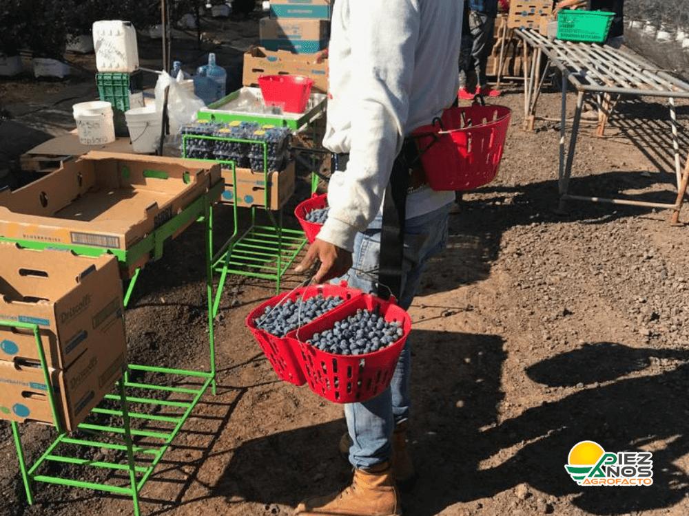 cosechador de berries usando frutinbag