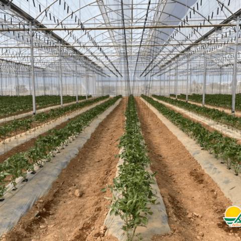 invernadero para tomate