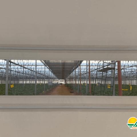 vista al interior de un invernadero de tomate